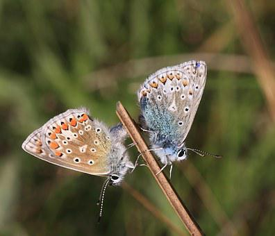 Common Blue, Polyommatus Icarus, Butterflies Mating