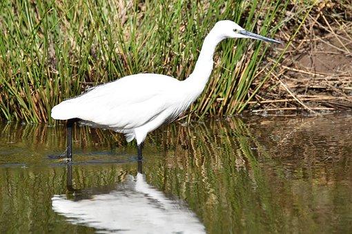 Egret, Bird, Lesser White Heron, Pond, Lake, Water