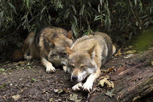 Wolf, Wolves, Canis Lupus, European Wolf, Predator