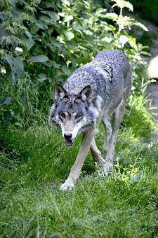 Wolf, Predator, Wolves, Wild Animal, Pack Animal