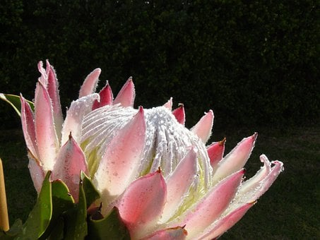 Protea, Flowers, Blossom, Sugarbushes, Suikerbos, Pink