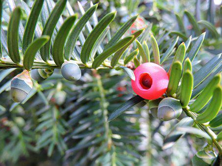 Yew, Taxus Baccata, Green, Red Fruit, Common Yew