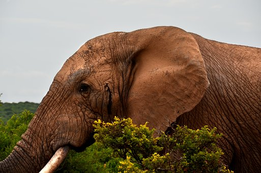 Elephant, Africa, Safari, African Bush Elephant