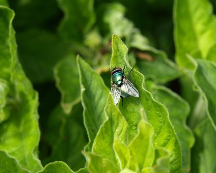 Fly, Schmeissflige, Whopper, Insect, Close, Iridescent