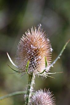 Thistle, Spiky, Plant, Nature, Flower, Flora, Sharp