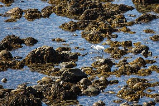 San Diego, Shoreline, Egret, Snowy Egret, Bird, Fishing