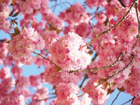 Cherry Blossom, Japanese Cherry, Smell, Blossom, Bloom