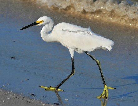 Snowy Egret, Birds, Wading Birds, Nature, Wildlife