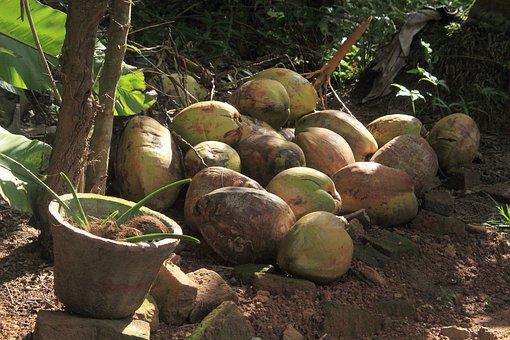 Palm, Plant, Nature, Kokusnuss, Holiday, Sri Lanka