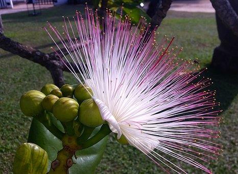 Mimosa, Pink Flower, Hairy, Sri Lanka, Travel