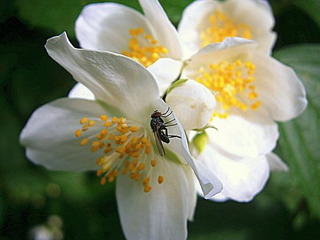 Fly, Summer Jasmine, Bauer Jasmin, Mock Orange, Jasmin