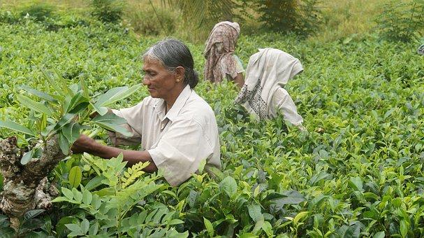 Sri Lanka, Tea Harvest, Tee, Tea Plantation