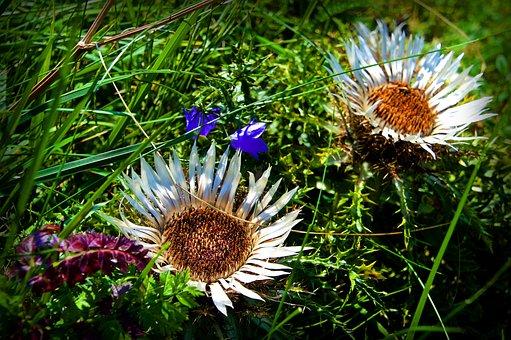 Thistle, Silver Thistle, Green Stuff, Botany, Flower