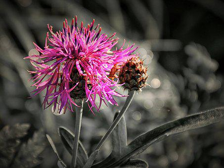 Thistle, Close, Effect, Nature, Blossom, Bloom, Plant