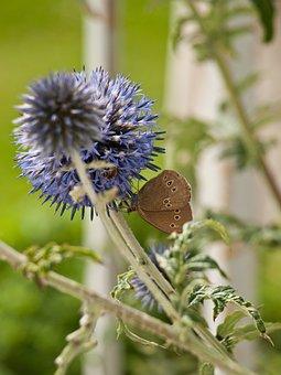 Blue Thistle, Ornamental Thistle, Flower, Thistle