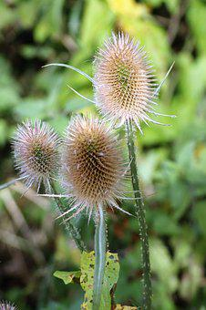 Thistle, Spiky, Plant, Nature, Flower, Flora, Sharp