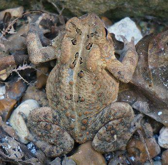 Common Toad, Toad, Amphibian, Animal, Nature, Species