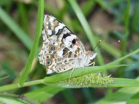 Butterfly, Vanessa Cardui, Vanesa From Thistles