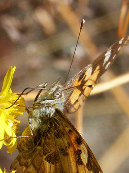 Butterfly, Vanesa, Vanessa Cardui, Vanesa From Thistles