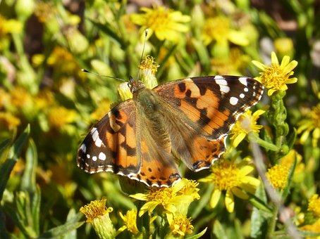 Butterfly, Libar, Flower, Vanessa Cardui