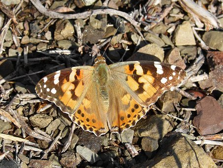 Butterfly, Vanessa Cardui, Vanessa Of Thistles