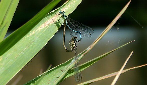 Viscous, Love, Nature, Pond, Insects Mating
