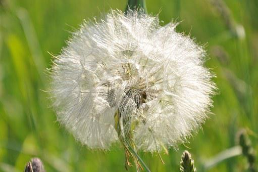 Dandelion, Flower, Garden, Nature, White