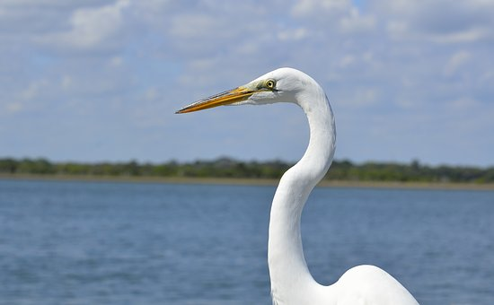 White Heron, Heron, Bird, Wildlife, Egret, Nature