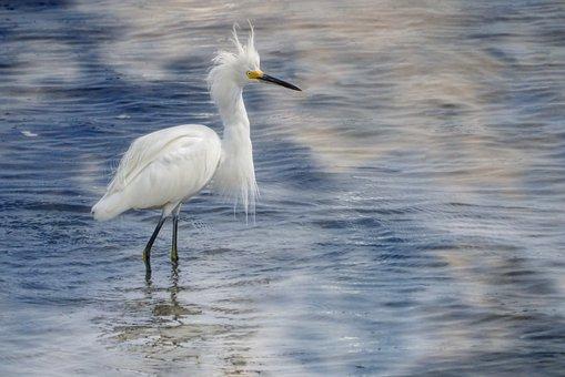 Snowy Egret, Birds, Nature, Wildlife, White, Wetland
