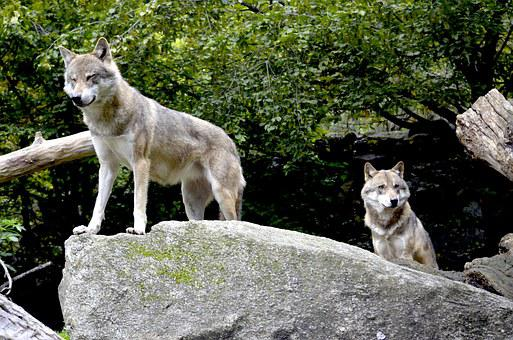 Wolves, Pack, Wild Animals, Dangerous, Watch, Rock