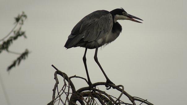 Blue Crane, Bird, Wildlife, Nature, Animal, Crane, Wild