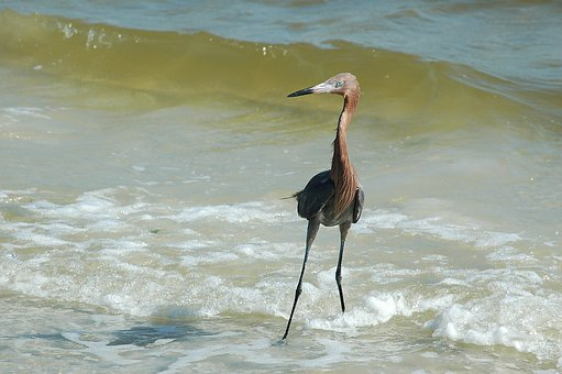 Red Egret, Bird, Avian, Wading, Heron, Wildlife, Ocean