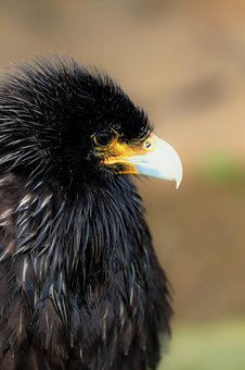 Caracara, Bird Of Prey, Bird, Animal, Wildlife, Crested