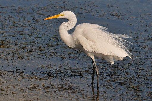 Egret, Great Egret, Florida, Birds, Wildlife, Nature