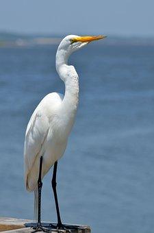 Great White Egret, Bird, Avian, Wildlife, Egret, Animal