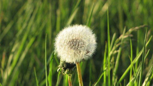 Dandelion, Wind, Nature, Seeds, Spring, Plant, Flower