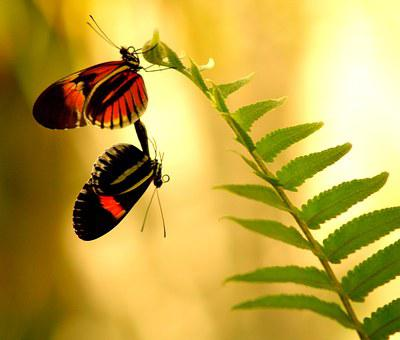 Butterflies, Mating, Intimate, Wings, Nature, Insect