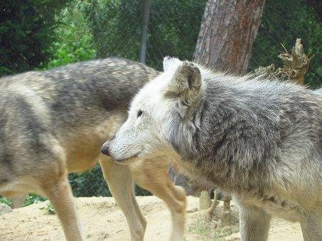 Wolf, Wolves, Wold, Zoo, Wild, Predator