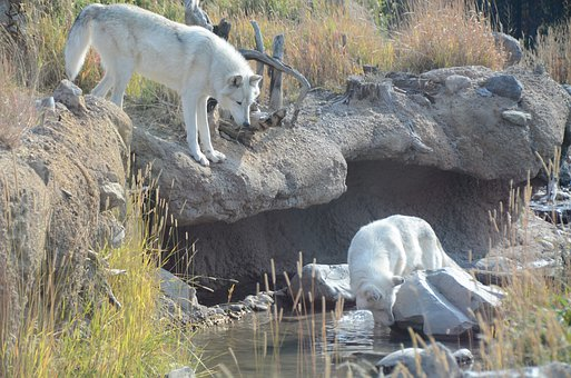 Wolves, White Wolves, Animals, Wolf, Animal, Wyoming