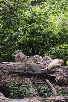 Wolves, Wolf, European Wolf, European Wolves