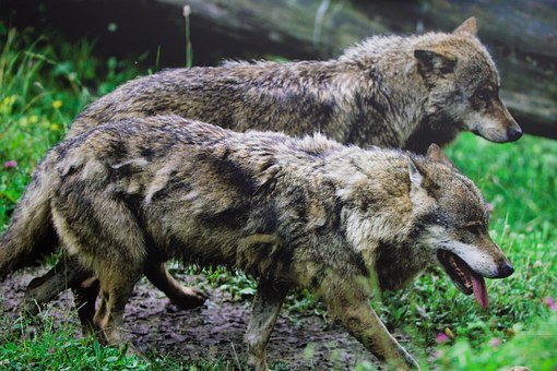 Nature, Animals, Wolves, Pack Animal