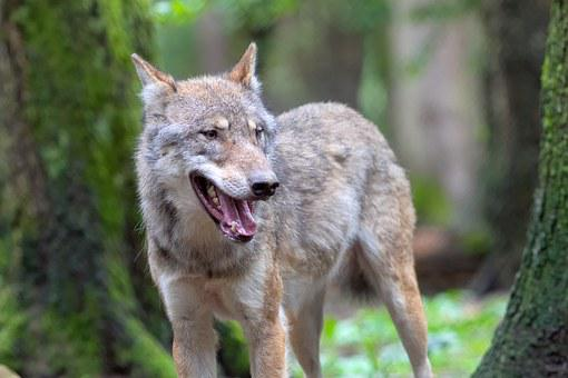 Wolf, Wolves, Canis Lupus, Animal, Portrait, Zoo
