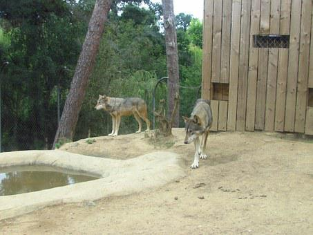 Wolves, Wolf, Zoo, Wild, Predator