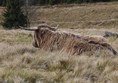 Animal, Cow, Hairy, Beef, Mountain Kvilda, šumava