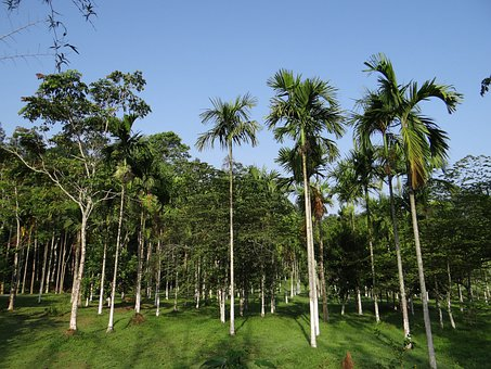 Areca Palm, Plantation, Kodagu, India, Tree, Organic