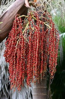 Palm, Branch, Ripe Red Seeds, Trunk