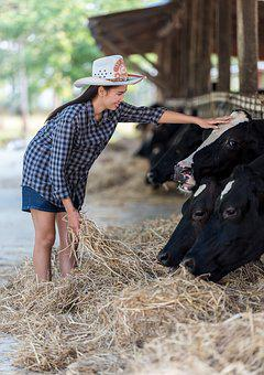 Animals, The Cow, Dry Grass, Eatting, Feeding, Calf
