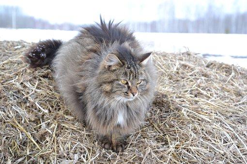 Animals, Cat, Furry, Grey, Siberian Cat, Rustic, Straw