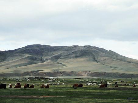 Mongolia, Prairie, Cattle And Sheep