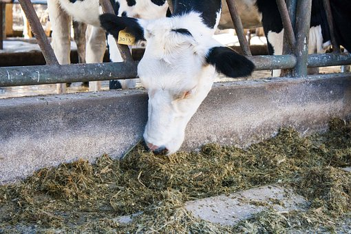 Cow, Free Stall, Dairy, Animal, Cattle, Ranch